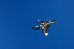 飛翔するゲンジボタル
