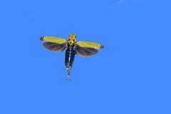 飛翔するツマグロオオヨコバイ