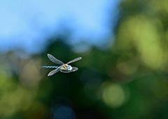 飛翔するマダラヤンマ