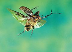 飛翔するマレーテナガコガネ
