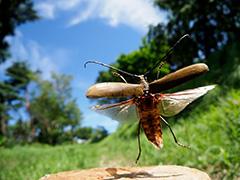 飛翔するミヤマカミキリ