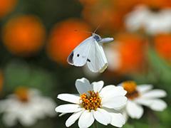飛翔するモンシロチョウ