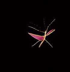 飛翔するロセアトビナナフシ