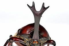 カブトムシの雄