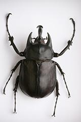 アクテオンゾウカブトムシの雄