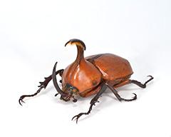 ピサロタテヅノカブトの雄