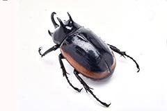 ヒメゴホンツノカブトの雄