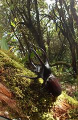 ボルネオオオカブトの雄