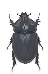 マダガスカルオオサイカブトの雄