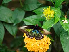 アカエリトリバネアゲハの雌