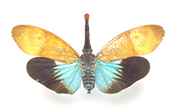 アカバナビワハゴロモ