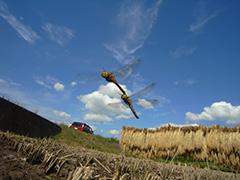 飛翔するアキアカネ