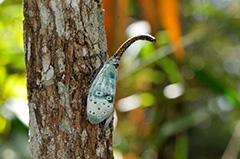 アサギビワハゴロモ