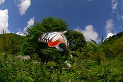 飛翔するアサギマダラ