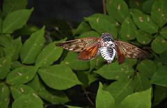 飛翔するアブラゼミ