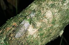 アフリカキノハダツユムシ