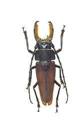 アラゲオオキバウスバカミキリ