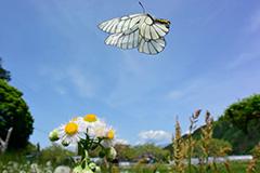 飛翔するウスバシロチョウ