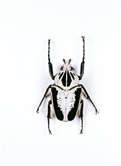 オウサマゴライアスオオツノハナムグリ