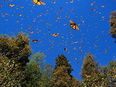 飛翔するオオカバマダラ