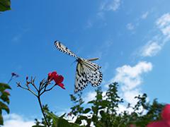 飛翔するオオゴマダラ