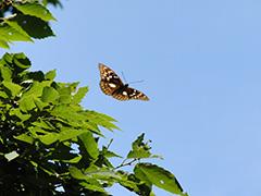飛翔するオオムラサキ