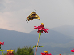 飛翔するキアゲハ