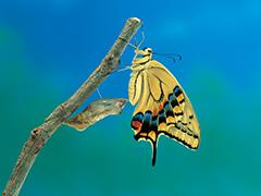 羽化をするキアゲハ