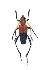 キヒゲアカグロカミキリ
