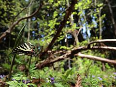 飛翔するギフチョウ