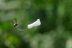 飛翔するクロスズメバチ