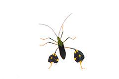 ニシキグンバイヘリカメムシ