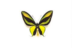 ゴクラクトリバネアゲハ
