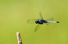 飛翔するシオカラトンボ