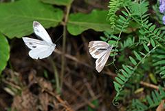 飛翔するスジグロシロチョウ