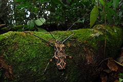 テナガカミキリ