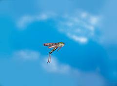 飛翔するトノサマバッタ