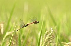 飛翔するナツアカネ