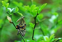 羽化をするナミアゲハ