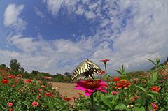 飛翔するナミアゲハ