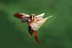 飛翔するナミゲンゴロウ