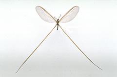 ナンベイオナガカゲロウ
