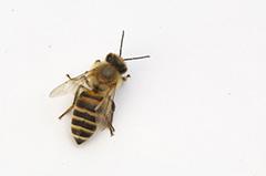ニホンミツバチ