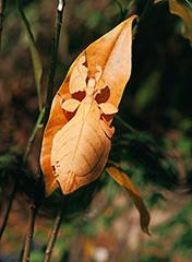ビオクラツムコノハムシ