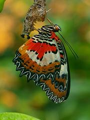 ヒプセアハレギチョウ