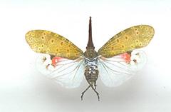 ビワハゴロモ