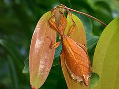 フィリピンコノハムシ
