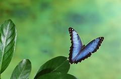 飛翔するペレイデスモルフォ