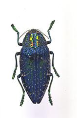 ホウセキカワリタマムシ