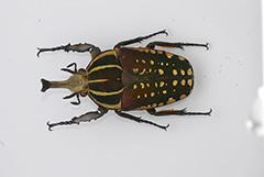 ミドリオオツノハナムグリ